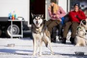 2017-02-11--Schlittenhunderennen-Lenk-087