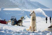 Schlittenhunderennen Les Mosses 2016 - 002