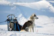 Schlittenhunderennen Les Mosses 2016 - 003