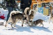 Schlittenhunderennen Les Mosses 2016 - 067