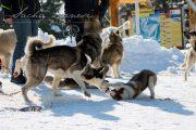 Schlittenhunderennen Les Mosses 2016 - 068
